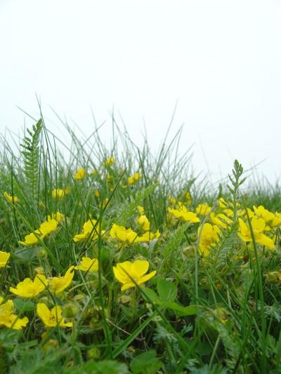 Cima del Monte Pizzoc: nuvole e un po di nebbia, ma nulla vieta a questi fiori di riempirci comunque della loro luce gialla.