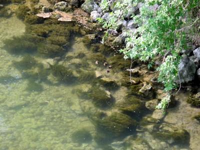 Le basse e limpide acque del Meschio presso Vistorta. Al centro un pugno di anatroccoli piccolissimi.