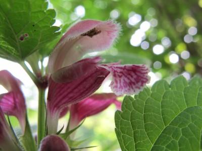 Pianta CARNIVORA tipica delle sponde del Meschio... Ok... Ok... È solo un fiore innocuo.