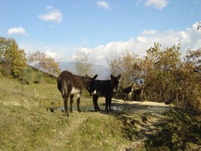 Muli liberi sulla cima del Monte Bala, Vittorio Veneto.