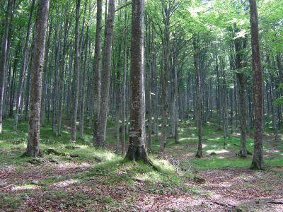 Bosco di faggio al limite nord della Foresta del Cansiglio.