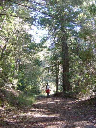 Altissimi Redwood, alberi tipici della zona, caratterizzano il tracciato.