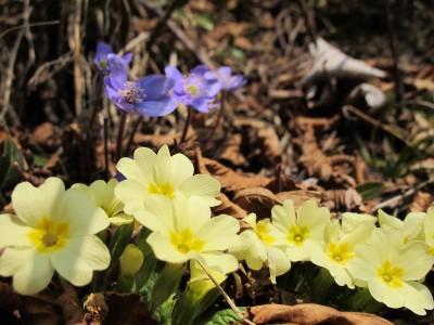 Timide, alcune primule fanno capolino dai tratti di sottobosco dove la neve si è già sciolta.