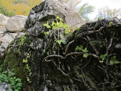 Il verde dell'edera a contrasto con il colore dell'autunno. Particolare di un muretto presso Case Sassi.