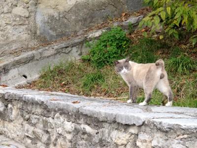 Quel che sembra il capo indiscusso della colonia di gatti di Santa Augusta.