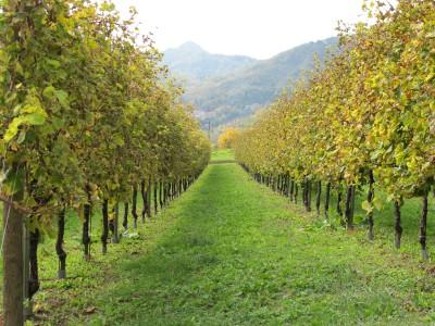 Lungo via Vinera, i vigneti rendono omaggio all'autunno.
