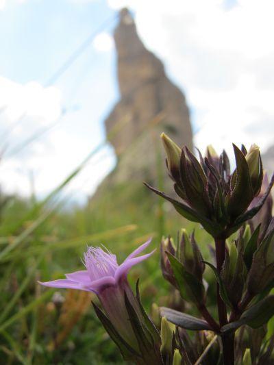 Ultima foto artistica all'icona delle Dolomiti Friulane. Ci permettiamo di mettere il Campanile di Val Montanaia come sfondo a questo rude fiore di alta quota!